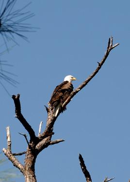 Eagle03