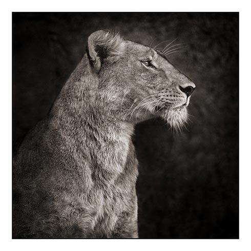 07_Portrait-of-Lioness-Against